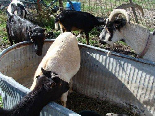 Стадо коз