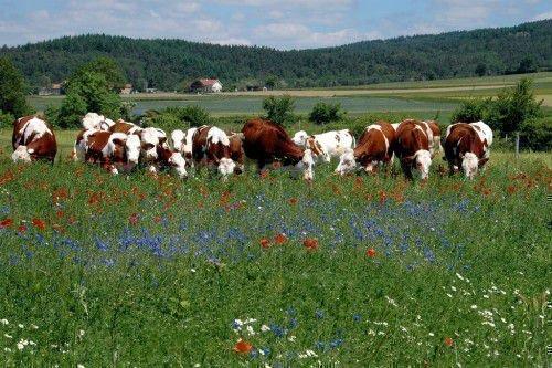 Стадо монбельярдских коров