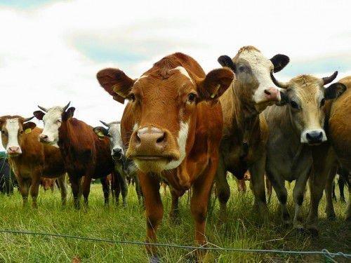 Стадо рыжих коров