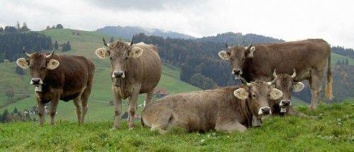 Стадо швицких коров