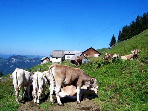 Стадо швицких коров в горах