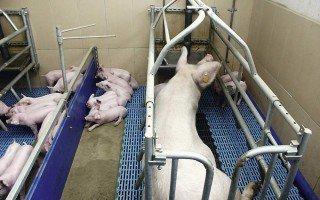 Как своими руками сделать станок для свиноматки