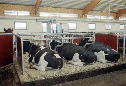 Стойло для коров