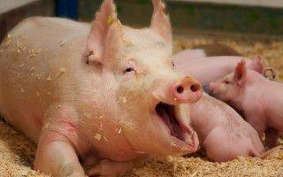 Как организовать систему вентиляции в свинарнике самостоятельно