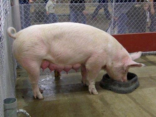 Свинья кушает