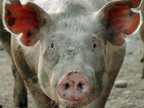 Свинья с саркоптозом