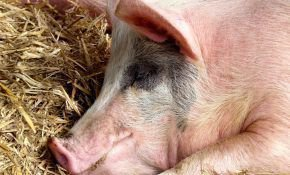 Как правильно можно зарезать в домашних условиях  свинью