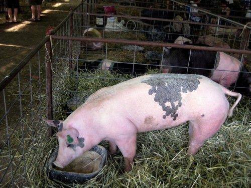 Свинья в стойле