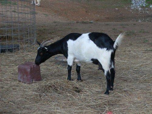 Техасская коза