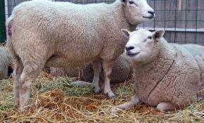 Разновидность овцы обычной