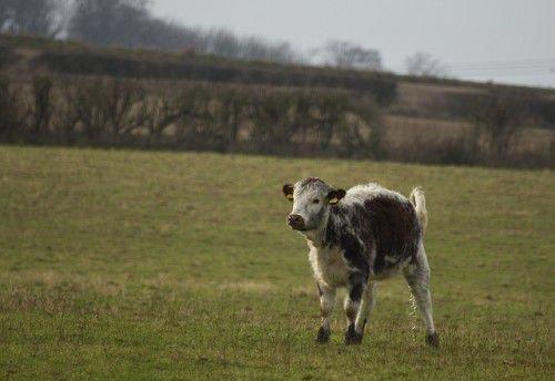 Изображение - Воспаения коленных суставов у крупного рогатого скота telenok-hromaet-500x344
