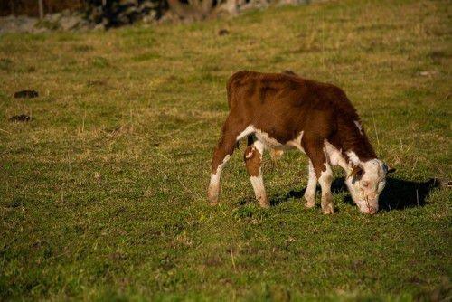 Изображение - Воспаения коленных суставов у крупного рогатого скота telenok-pasetsya-500x334