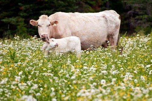 Теленок с коровой
