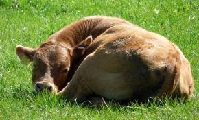 Почему теленок отказывается от молока?
