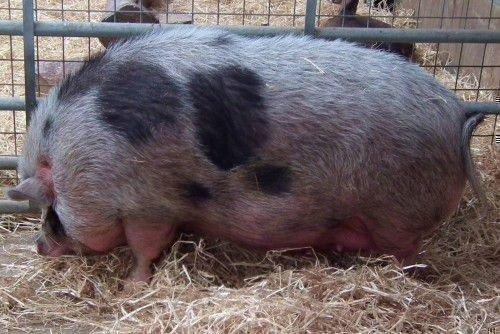 Убой свиней предубойная диета