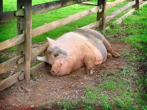 Толстая свинья спит