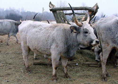 Украинская корова