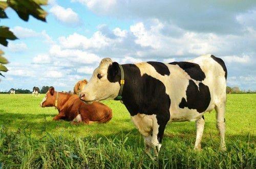 Упитанная корова