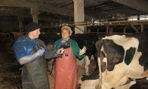 Заболевания коров, сопровождающие отел