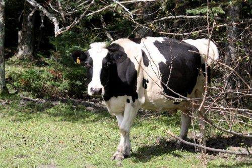 Корова на выгуле