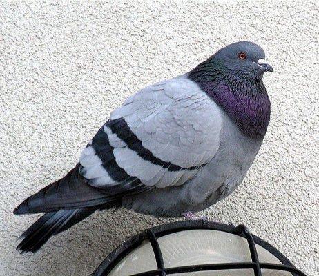 Взрослый голубь