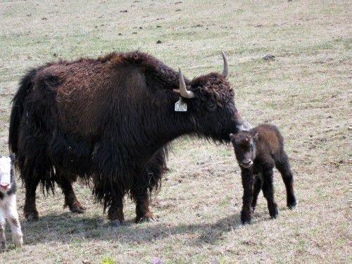 Як и теленок