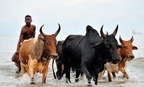 Зебу - разновидность коровы обычной