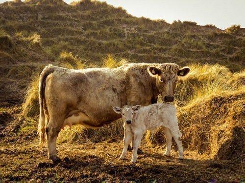 Желтая корова с теленком
