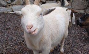 Определение возраста коз
