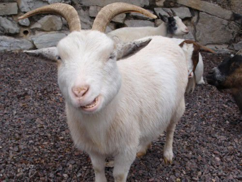 Зубы козы