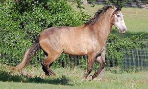 Лошадь в стиле фламенко - андалузская порода