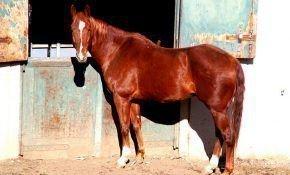 Английская чистокровная порода лошадей