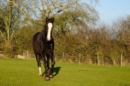Английский конь