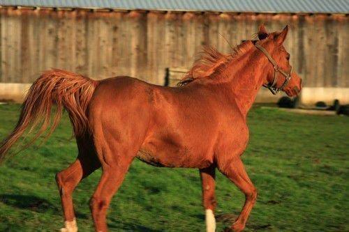 Английский конь скачет