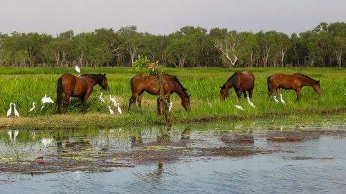 Австралийские лошади брамби