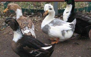 Башкирская домашняя утка: особенности и характеристики породы