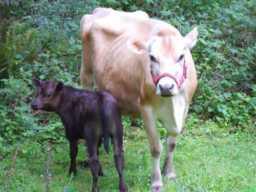 Белая корова и черный теленок