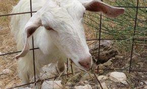 Разведение домашних коз как бизнес: особенности