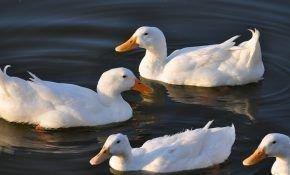 Утка и селезень: как отличить их друг от друга
