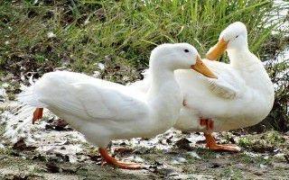 Почему утки выщипывают перья до крови друг у друга
