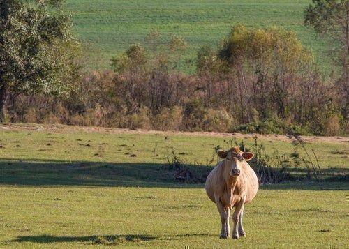 Беременная корова на пастбище