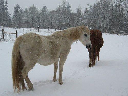 Беременная породистая лошадь