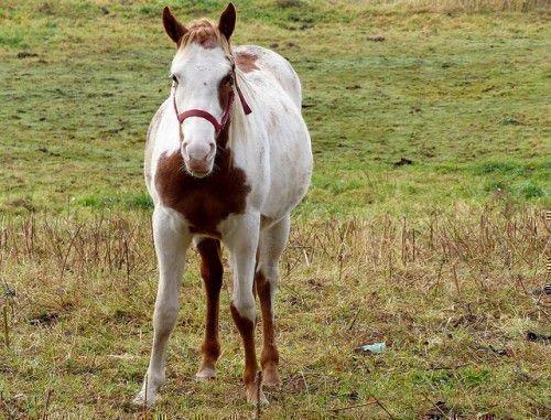 Беременная пятнистая лошадь