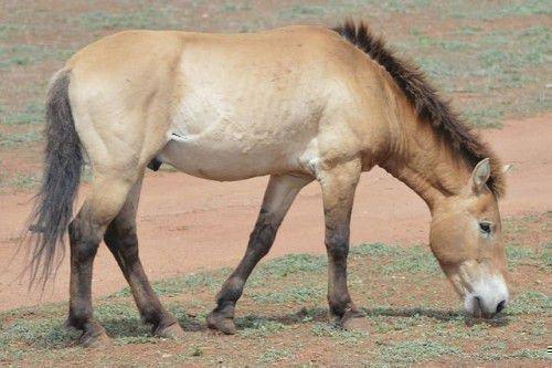 Бежевая монгольская лошадь