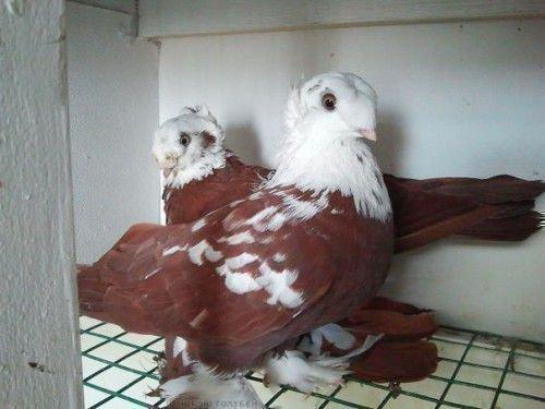 Благодарненские голуби бурые