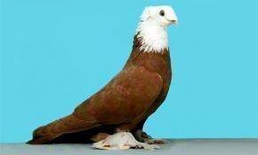 Отличительные черты благодарненских голубей