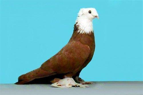 Благодарненский голубь