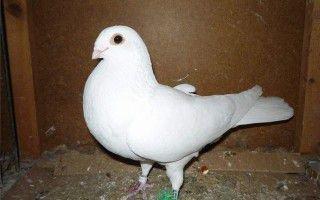 Виды высоколетных пород голубей