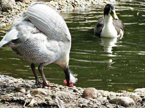 Цесарка и утка