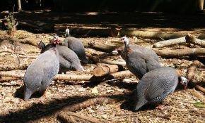 Нюансы разведения и содержания цесарских птиц в домашних условиях